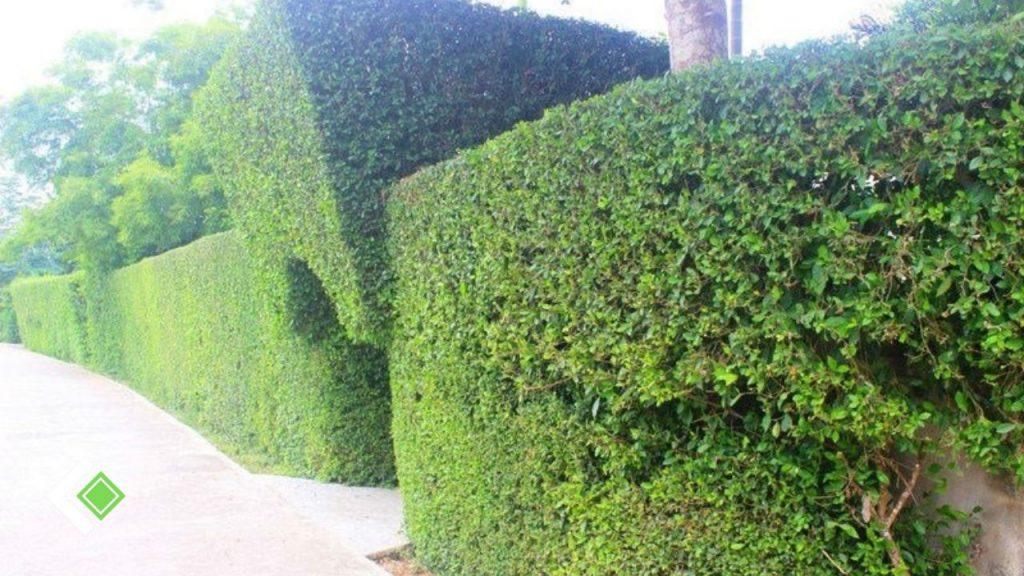 Hàng rào cây duối