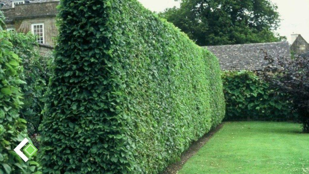 Hàng rào cây thuỷ lạp
